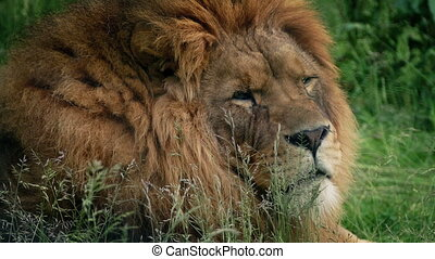 Lion Turns And Looks At Camera - Large male lion lying in...