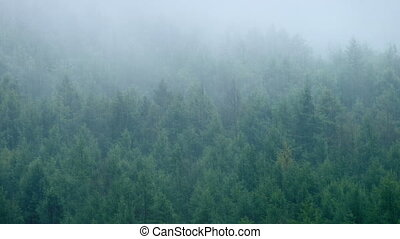 Misty Forest In Heavy Rain - Forested hillside in the mist...