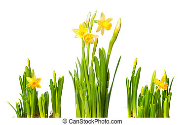 lent lily daffodil isolated on white