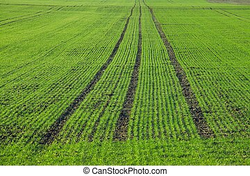 Plants - Rows of growing plants on an agricultural field