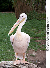 Bird pelican with beak on background of the green herb