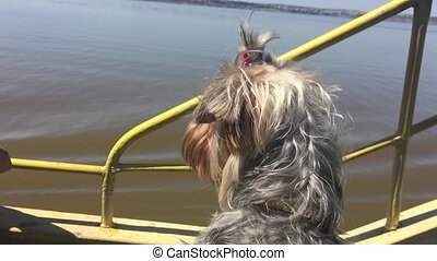 the dog pet sails on the ship. dog shaggy on the water - the...