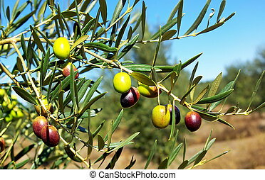 Olives hanging on tree.