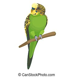 Budgerigar common or shell parakeet informally nicknamed...