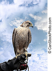 falcon perched on leather glove
