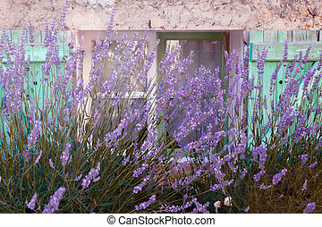 Lavender window - Lavender growing in front of a typical...