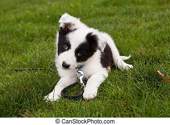 Border collie doggy - Seven weeks old border collie puppy...