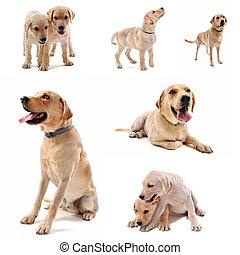 labrador retriever - purebred labrador retriever in front of...