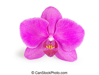 orchids  - pink flower of orchids isolated on white