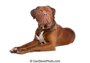 mix bull mastiff,tosa inu ,isolated on a white background