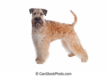 Soft coated wheaten terrier dog - Soft Coated Wheaten...