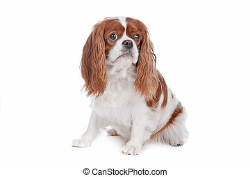 Cavalier King Charles Spaniel dog sitting, isolated on a...