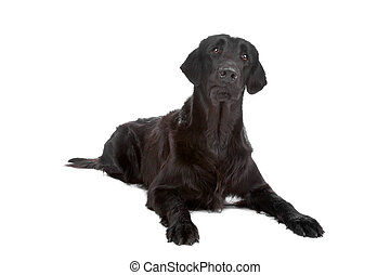 Flat coated retriever dog - Black Flat coated retriever dog...