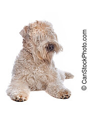 Soft Coated Wheaten Terrier dog isolated on a white background