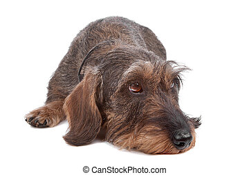 Wire haired Dachshund dog lying in front, isolated on a...