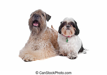 soft coated wheaten terrier and a Shih Tzu soft coated...