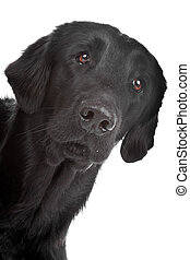 Flat coated retriever dog - Face of black Flat coated...