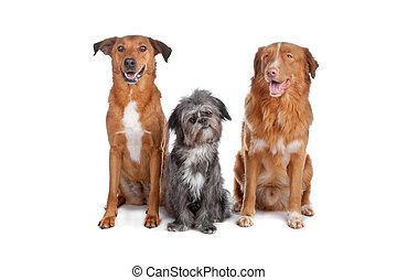 Two mix dogs and a Nova Scotia Duck Tolling Retriever - Two...