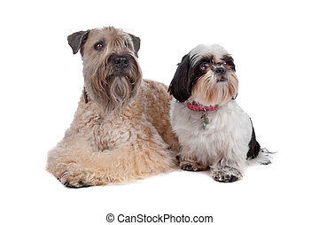 soft coated wheaten terrier and a Shih Tzu dog - Soft Coated...