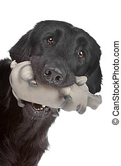 Flat coated retriever dog - Head of black Flat coated...