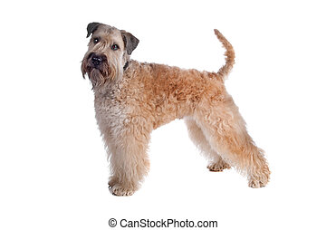 Soft coated terrier dog - Soft Coated Wheaten Terrier dog...