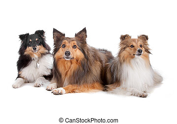 Shetland SheepdogsShelty - Group of three Shetland sheepdogs...