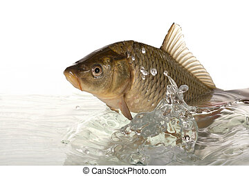 Carp - Big carp floats in transparent water.