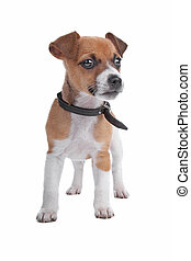 Jack Russel Terrier puppy isolated on a white background