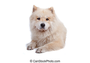 Mix Chow-Chow and Samoyed - Cute mixed breed dog Chow-Chow...