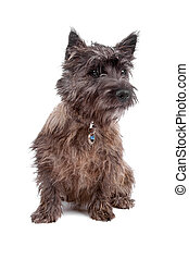 Cairn Terrier Dog - Cute Cairn terrier dog sitting, isolated...