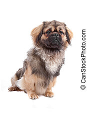 Tibetan Terrier dog - Front view of cute Tibetan Terrier dog...