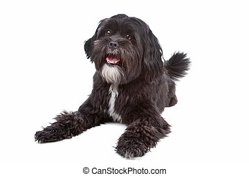 mix Tibetan Terrier, Shih Tzu - Mixed breed dog Tibetan...