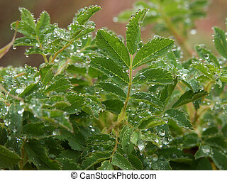 Waterdroplets on leaves - Water droplets from a recent rain...
