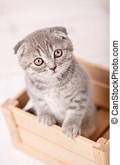 Lop-eared kitten - Looking at your soul Lop-eared kitten...