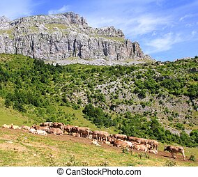 Bisaurin peak Pyrenees cow cattle on valley