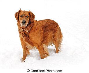 Golden Retriever in Winter Snow - A Golden Retriever in the...