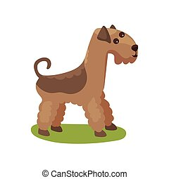Airedale dog, purebred pet animal standing on green grass...