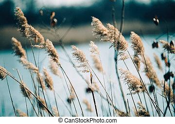 Beautiful reed as background at windy lake - Beautifu...