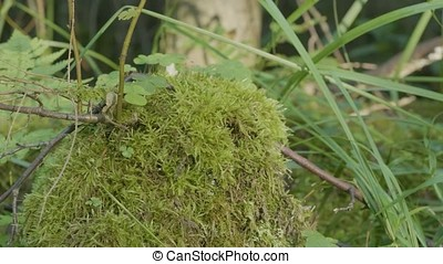 Moss on stump in the forest. Old timber with moss in the...
