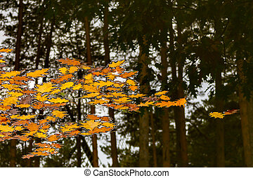 Yellow leafs in a water and reflection of a pine forest in...