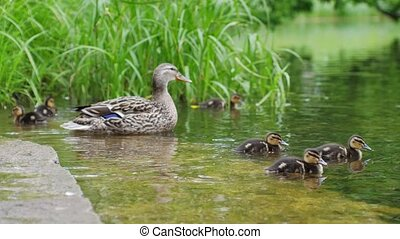 Duck with ducklings on walk floating in the pond water....