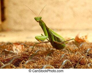 Praying Mantis on a doormat