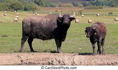 Hungarian water buffaloes