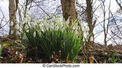 Group snowdrops in spring - A group of snowdrops in the...