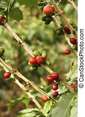 Red colombian coffee bean.