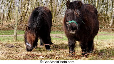 Two shetland pony's eating - Two dark brown shetland pony's...