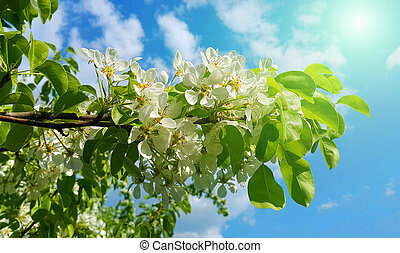 Branch of a spring fruit tree with beautiful white flowers -...