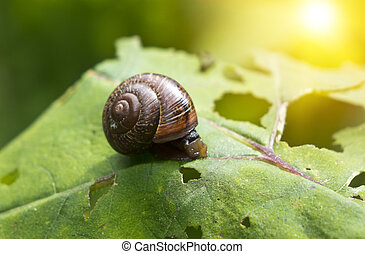 snail (Gastropoda, Helix pomatia ) on a leaf of a burdock
