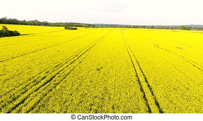 aerial drone video clip ascending over field of oil seed...