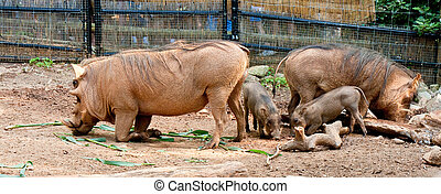 Warthog Family and Rhinoceros - A warthog mother and babies...